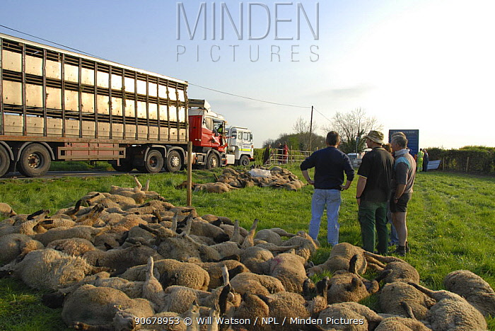 Livestock transporter accident and dead sheep (Ovis aries) next to road, Herefordshire, UK  -  Will Watson/ npl