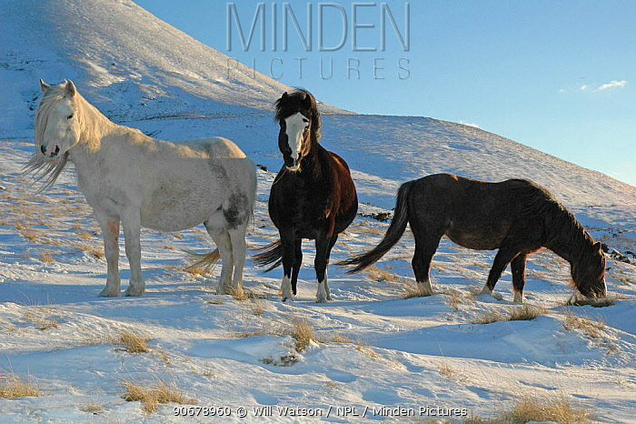 Welsh Ponies (Equus caballus) on Hay Bluff, Black Mountains, Brecon Beacons National Park, Wales, UK  -  Will Watson/ npl