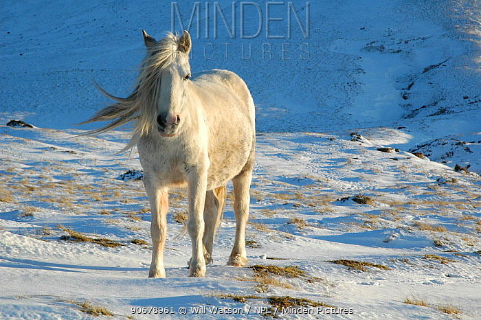 Welsh Pony (Equus caballus) Hay Bluff, Black Mountains National Park, Powys, Wales, UK, winter  -  Will Watson/ npl