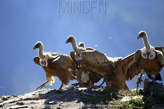 Flock of Griffon vulture (Gyps fulvus) on rock, Huesca, Spain  -  Jose B. Ruiz/ npl
