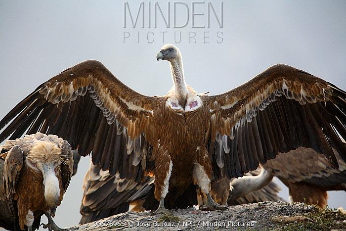 Griffon vulture (Gyps fulvus) with wings stretched, Huesca, Spain  -  Jose B. Ruiz/ npl