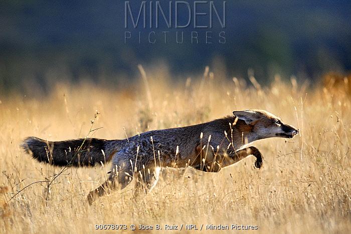 Red fox (Vulpes vulpes) running through grass, Spain  -  Jose B. Ruiz/ npl