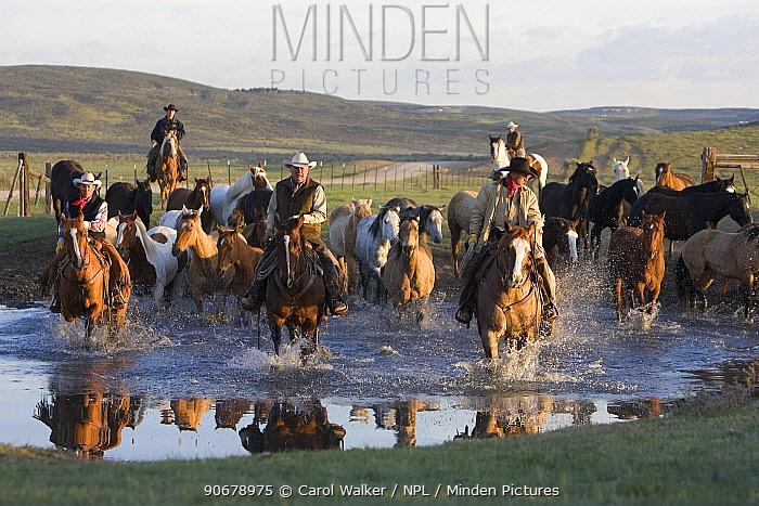 Cowboys driving horses (Equus caballus) across the water at Sombrero Ranch, Craig, Colorado Model released  -  Carol Walker/ npl