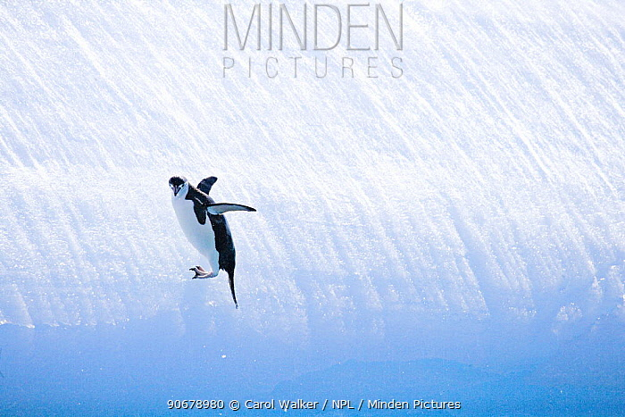 Chinstrap Penguin (Pygoscelis antarctica), adult sliding down ice South Orkney Islands, Antarctica  -  Carol Walker/ npl