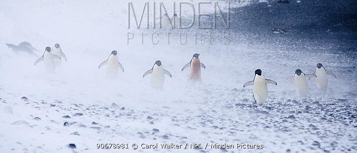 Adelie Penguins (Pygoscelis adeliae) in snow storm Paulet Island, Antarctica  -  Carol Walker/ npl