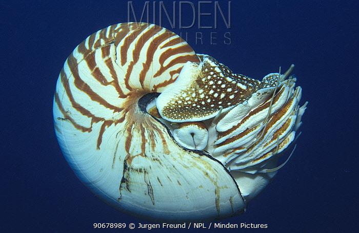 Portrait of Chambered Nautilus (Nautilus pompilius) Underwater, Papua New Guinea  -  Jurgen Freund/ npl
