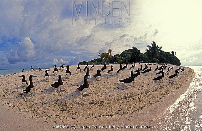Brown boobies (Sula leucogaster) on beach, Tubbataha Reefs, Philippines  -  Jurgen Freund/ npl