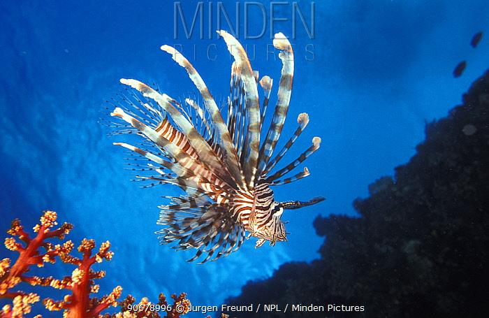 Lionfish (Pterois volitans) and fan coral, Indo-Pacific  -  Jurgen Freund/ npl