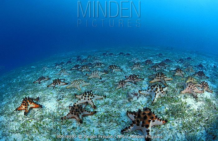 Horned sea stars (Protoreaster nodosus) in shallow water, Indo-Pacific  -  Jurgen Freund/ npl