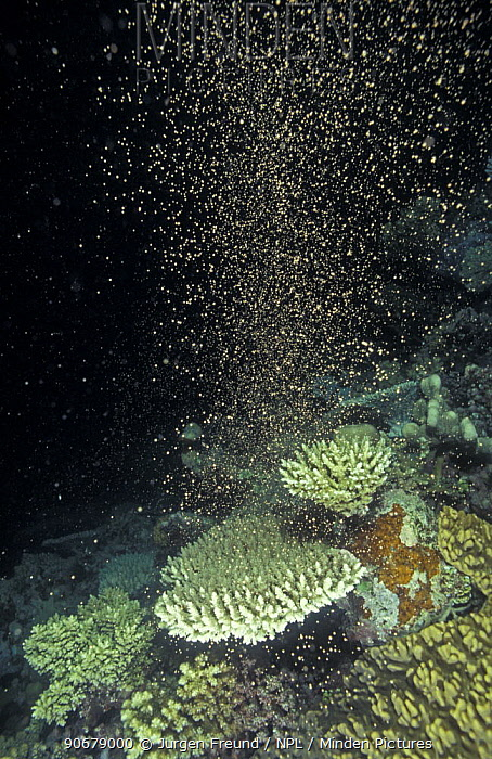 Coral spawning in the Great Barrier Reef happens every year in November 3, 5 days after full moon, Great Barrier Reef, Queensland, Australia  -  Jurgen Freund/ npl