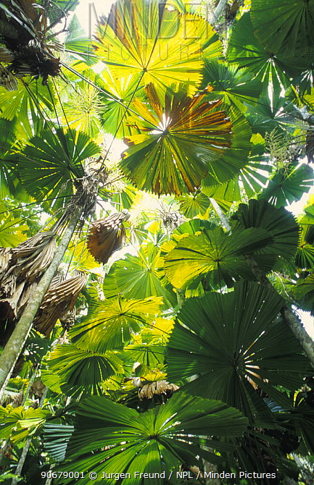 Looking up through the fronds of Licuala fan palms (Licuala ramsayi) endemic to the tropical rainforest of North Queensland, Daintree NP, Australia  -  Jurgen Freund/ npl