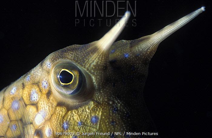 Trunkfish, Longhorn cowfish (Lactoria cornuta)  -  Jurgen Freund/ npl