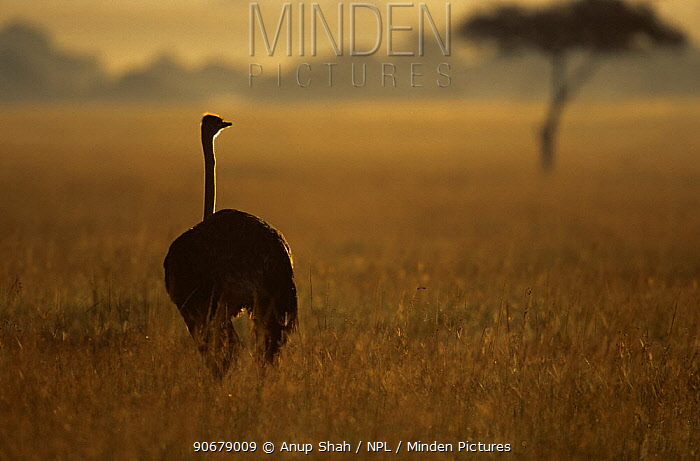 Ostrich (Struthio camelus) on savanna at dawn, East Africa  -  Anup Shah/ npl
