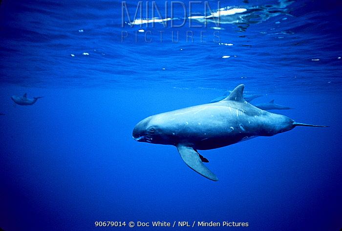 Pygmy Killer Whales (Feresa attenuata) swimming, Pacific  -  Doc White/ npl
