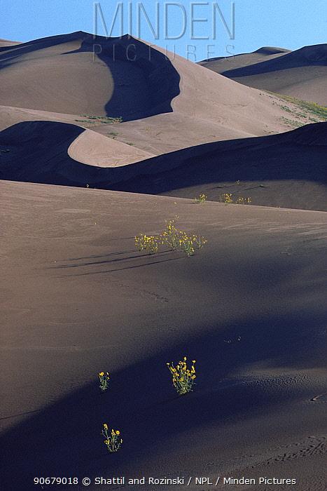 Desert sunflowers flowering on dark sand dunes, Colorado, USA, 1995  -  Shattil and Rozinski/ npl