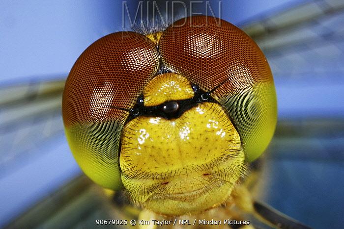 Close up of eyes of Common Darter Dragonfly (Sympetrum striolatum) newly emerged adult, Surrey, UK  -  Kim Taylor/ npl