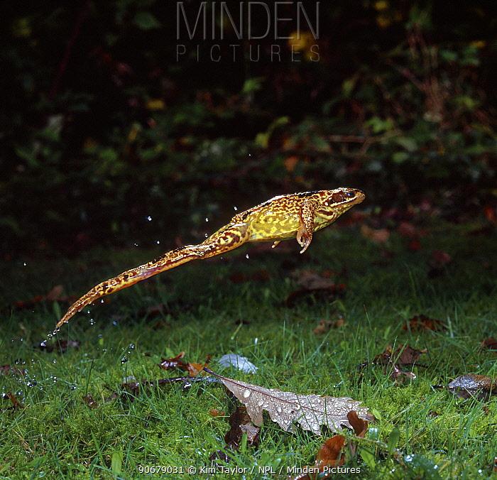 Common Frog (Rana temporaria) leaping Surrey, UK  -  Kim Taylor/ npl