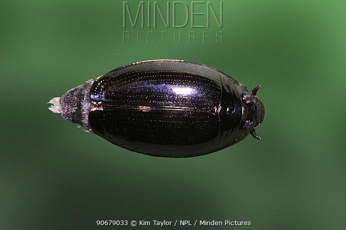 Whirligig Beetle (Gyrinus sp) on the surface of a pond Surrey, UK  -  Kim Taylor/ npl