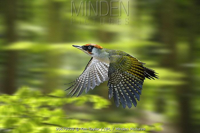 Green Woodpecker (Picus viridis) male flying through Beech woodland in spring, digital composite, Surrey, UK  -  Kim Taylor/ npl