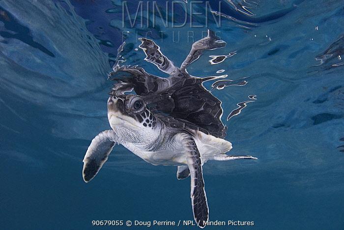 Green sea turtle (Chelonia mydas) hatchling swimming, Endangered, Caribbean, captive, digitally enhanced  -  Doug Perrine/ npl