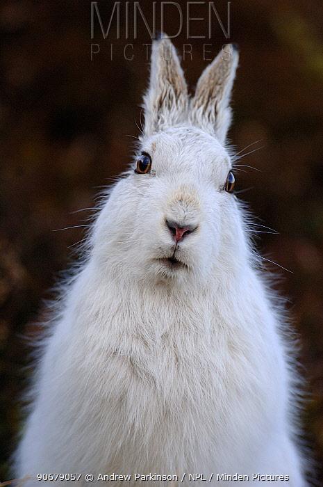 Mountain hare (Lepus timidus) adult on moorland, winter coat, Monadhliath Mountains, Scotland, UK  -  Andrew Parkinson/ npl