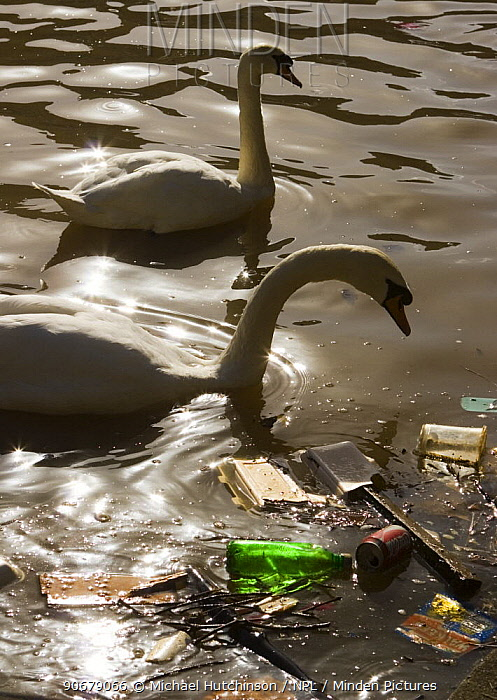 Mute swans (Cygnus olor) backlit next to floating litter in river Avon, Bristol, UK  -  Michael Hutchinson/ npl