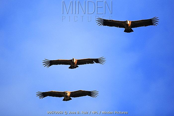 Griffon vulture (Gyps fulvus) three flying, Hoces del Durat?n, Segovia, Spain  -  Jose B. Ruiz/ npl