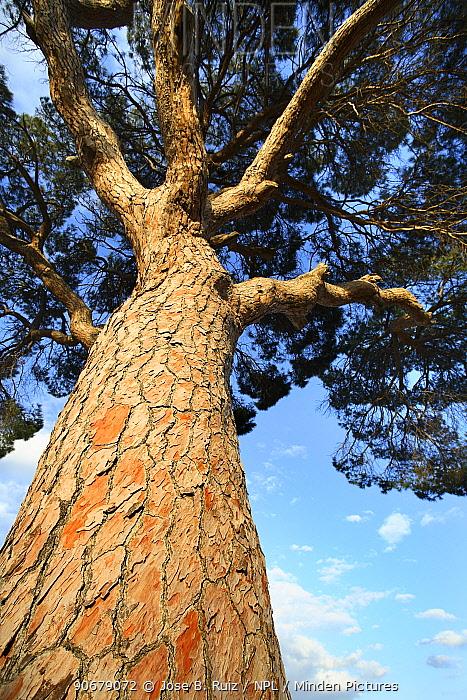 Looking up the trunk of an Italian pine stone tree (Pinus pinea) Alicante, Spain  -  Jose B. Ruiz/ npl