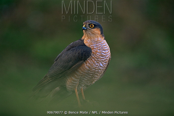 Sparrowhawk (Accipter nisus) male, Hungary  -  Bence Mate/ npl