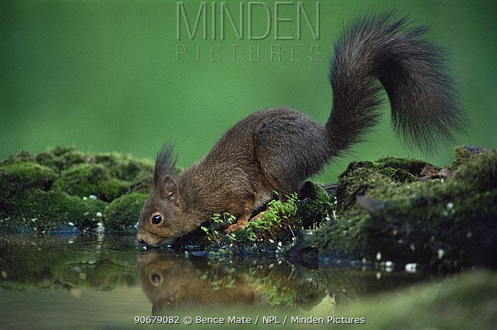 Red squirrel (Sciurus vulgaris) drinking at pool, Hungary  -  Bence Mate/ npl