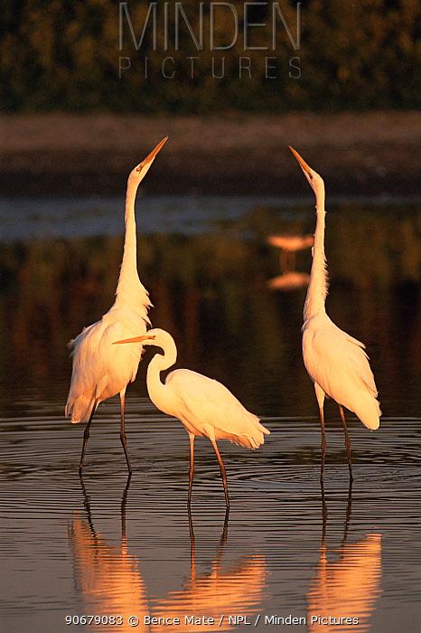 Great egrets (Ardea alba) in lake, Hungary  -  Bence Mate/ npl