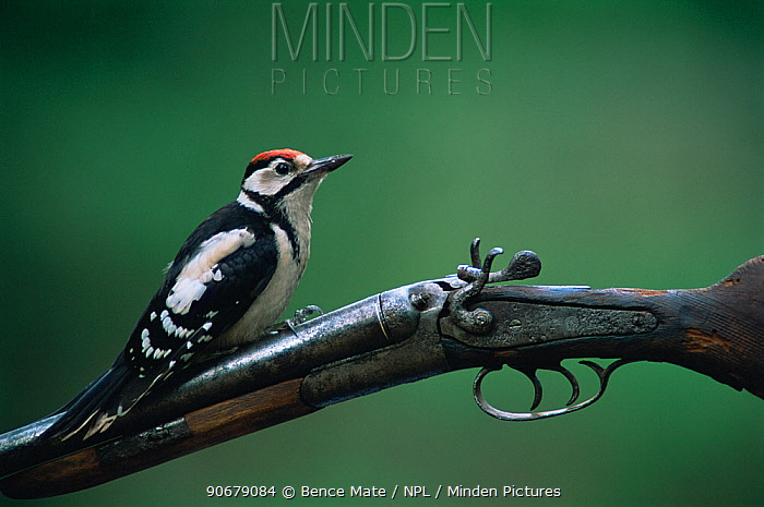 Greater spotted (Dendrocopos major) juvenile perched on gun, Hungary  -  Bence Mate/ npl