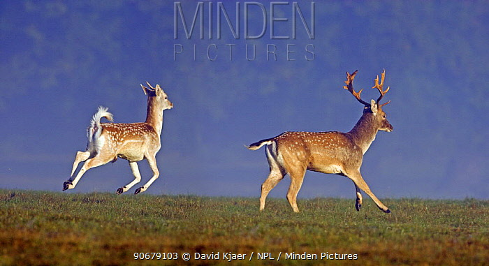 Fallow Deer (Dama dama) young buck and male running during autumn 'rut' in Richmond Park, London, England  -  David Kjaer/ npl