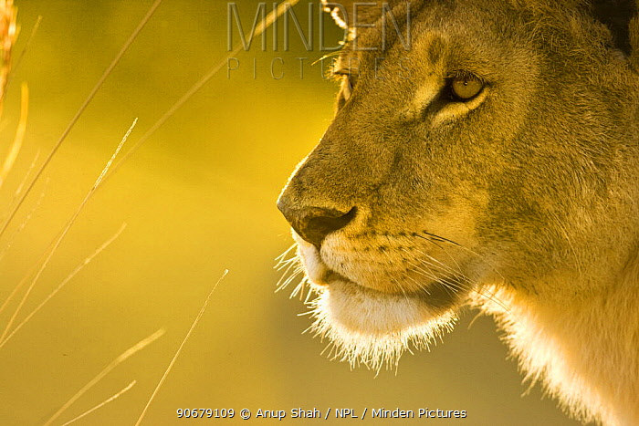 African lion (Panthera leo) lioness head profile portrait, Masai Mara GR, Kenya  -  Anup Shah/ npl