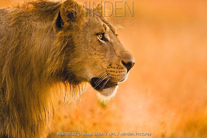 African lion (Panthera leo) male head profile portrait, Mara GR, Kenya  -  Anup Shah/ npl