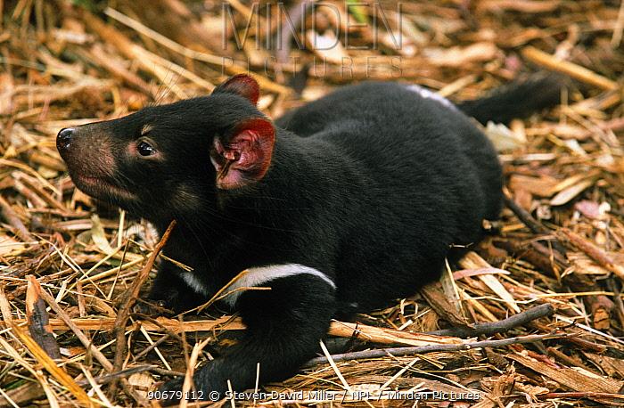 Tasmanian Devil (Sarcophilus harrissii) orphaned baby at play amongst straw, Bonorong Wildlife Park, Tasmania, Australia  -  Steven David Miller/ npl