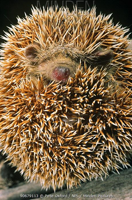 Small Madagascar hedgehog (Echinops telfari) curled up in a ball Krindy Forest, Western Madagascar  -  Pete Oxford/ npl