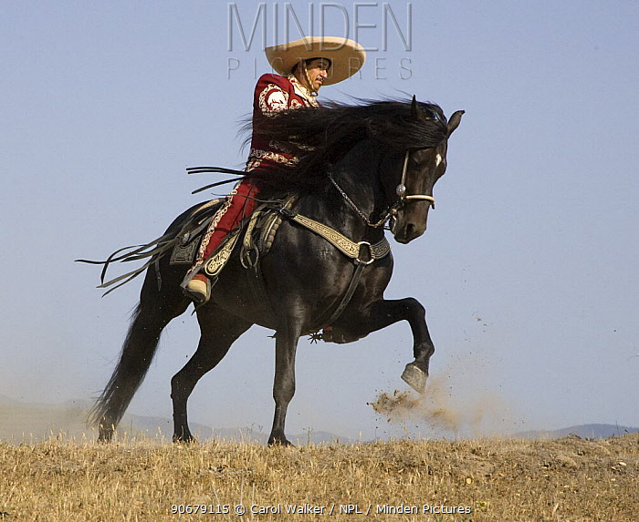 Charro on a Black Andalusian stallion galloping in Ojai, California, USA, model released  -  Carol Walker/ npl