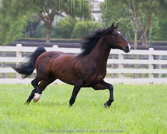 Bay Andalusian stallion trotting in paddock, Ojai, California, USA  -  Carol Walker/ npl