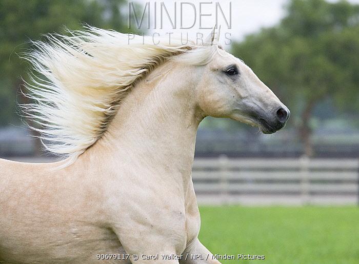Palomino Lusiatano stallion running in paddock, Ojai, California, USA  -  Carol Walker/ npl