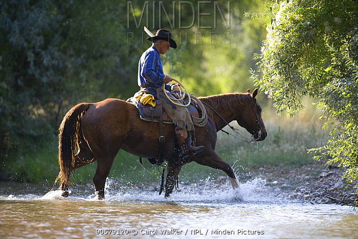 Cowboy riding through stream, Flitner Ranch, Shell, Wyoming, USA, model released  -  Carol Walker/ npl