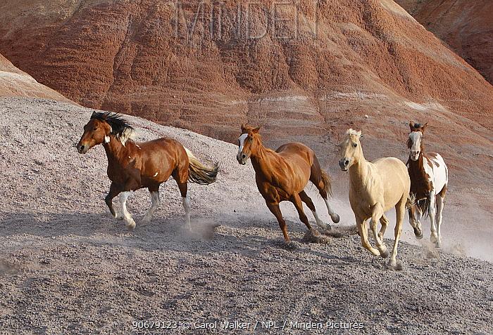 Two paint horses, a palomino and a sorrel quarter horse running, Flitner Ranch, Shell, Wyoming, USA  -  Carol Walker/ npl