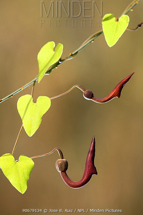Birthwort, Dutchman's Pipe (Aristolochia sempervirens), Alcal� de Guada?ra, Seville, Spain  -  Jose B. Ruiz/ npl