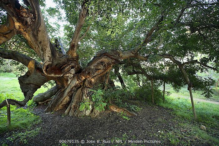 Ancient Carob tree (Ceratonia siliqua), Alfaz del Pi, Alicante, Spain  -  Jose B. Ruiz/ npl