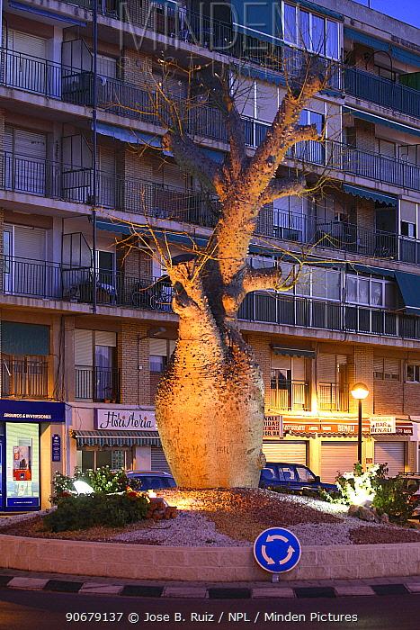 Silk Flower tree (Chorisia spectabilis) in centre of town roundabout, San Juan, Alicante, Spain  -  Jose B. Ruiz/ npl