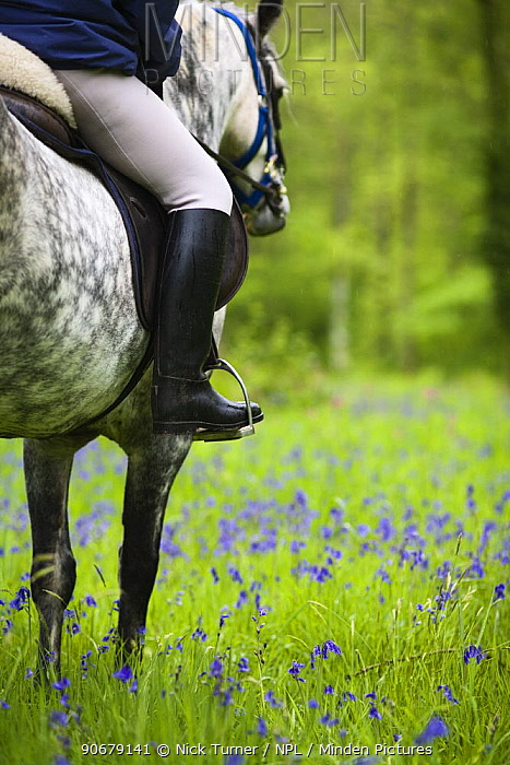 Horse and rider trekking through bluebell wood Brecon Beacons National Park, Powys, Wales, UK, Model released  -  Nick Turner/ npl
