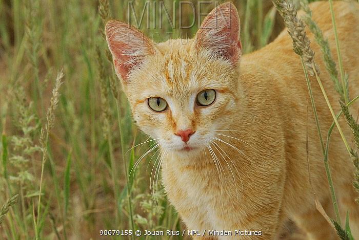 African wild cat (Felis sylvestris libyca), Kgalagadi Transfrontier Park, Kalahari desert, South Africa  -  Jouan & Rius/ npl