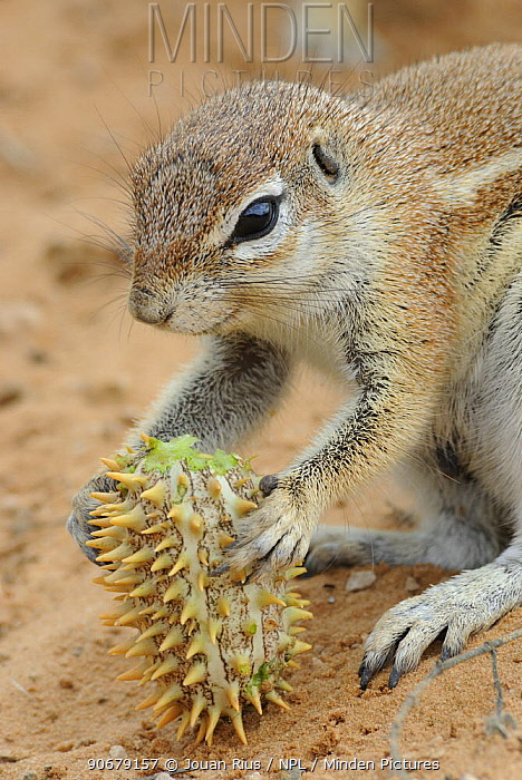 Cape ground squirrel (Xerus inauris) feeding on Gemsbok cucumber, Kgalagadi Transfrontier Park, Kalahari desert, South Africa  -  Jouan & Rius/ npl