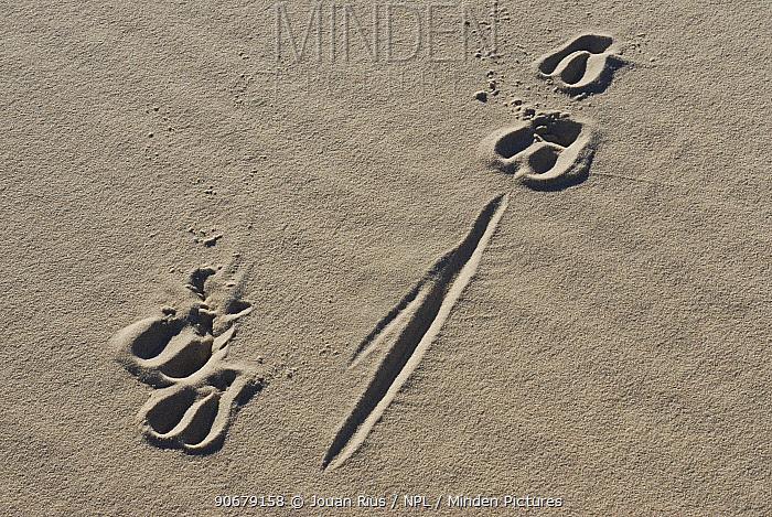 Antelope footprints in the white sand, Kalahari desert, South Africa  -  Jouan & Rius/ npl