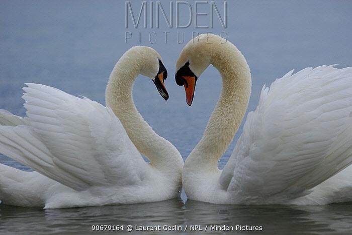 Mute swan (Cygnus olor) pair courting Walthamstow reservoir, London, UK  -  Laurent Geslin/ npl